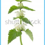 What is White Deadnettle and How Do You Use It?_14.jpg