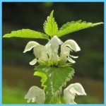 What is White Deadnettle and How Do You Use It?_15.jpg