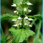What is White Deadnettle and How Do You Use It?_16.jpg