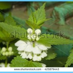 What is White Deadnettle and How Do You Use It?_17.jpg