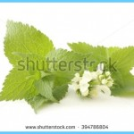 What is White Deadnettle and How Do You Use It?_2.jpg