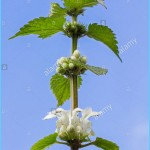 What is White Deadnettle and How Do You Use It?_3.jpg