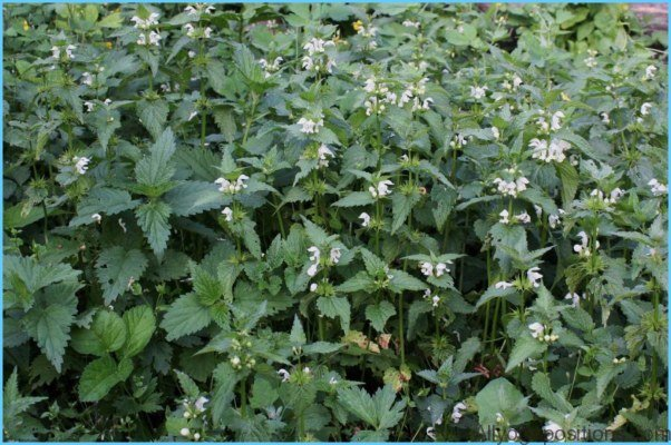 What is White Deadnettle and How Do You Use It?_4.jpg