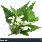 What is White Deadnettle and How Do You Use It?_6.jpg