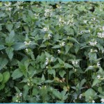 What is White Deadnettle and How Do You Use It?_8.jpg
