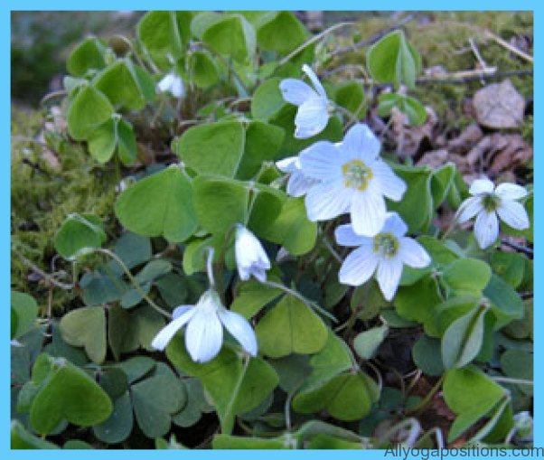 What is Wood Sorrel and How Do You Use It?_0.jpg
