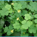 What is Wood Sorrel and How Do You Use It?_1.jpg
