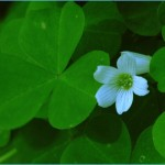 What is Wood Sorrel and How Do You Use It?_10.jpg