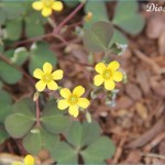 What is Wood Sorrel and How Do You Use It?_11.jpg
