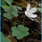 What is Wood Sorrel and How Do You Use It?_12.jpg