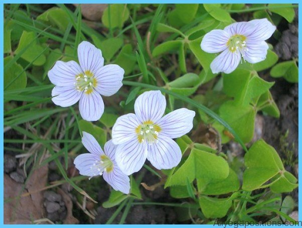 What is Wood Sorrel and How Do You Use It?_14.jpg