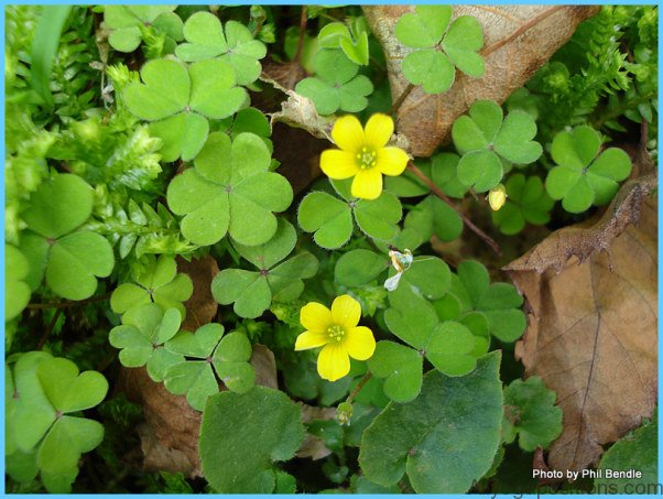 What is Wood Sorrel and How Do You Use It?_15.jpg