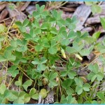 What is Wood Sorrel and How Do You Use It?_16.jpg