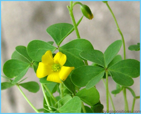 What is Wood Sorrel and How Do You Use It?_17.jpg