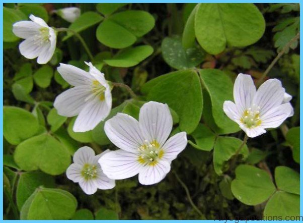 What is Wood Sorrel and How Do You Use It?_2.jpg