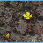 What is Wood Sorrel and How Do You Use It?_3.jpg