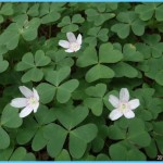 What is Wood Sorrel and How Do You Use It?_4.jpg