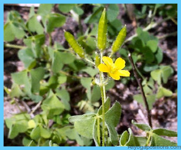 What is Wood Sorrel and How Do You Use It?_6.jpg