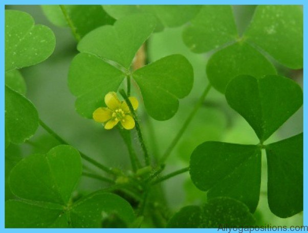 What is Wood Sorrel and How Do You Use It?_7.jpg