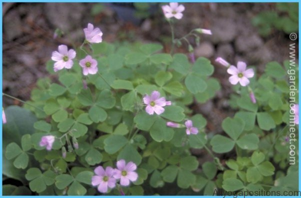 What is Wood Sorrel and How Do You Use It?_8.jpg