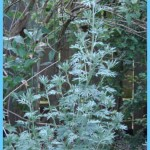 What is Wormwood and How Do You Use It?_1.jpg