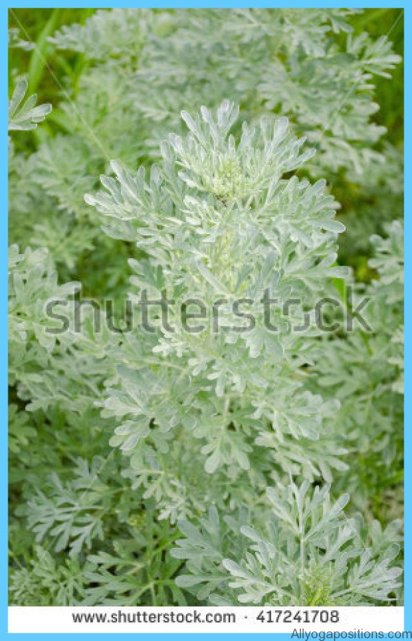 What is Wormwood and How Do You Use It?_13.jpg