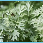 What is Wormwood and How Do You Use It?_16.jpg